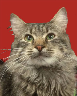 Beautiful tabby cat being cared for by a pet sitter who offers pet sitting services in Harlem and Inwood New York